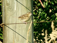 Grasshopper Sparrow, North of Dayton, Armstrong Co., PA
