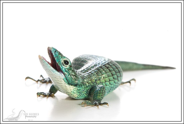 Abronia graminea