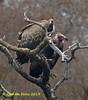 Indian Vulture, Long-billed Vulture,  Gyps indicus,  IUCN Critically Endangered (nearest bird),  Red-headed Vulture,  Sarcogyps calvus,  IUCN Critically Endangered, by Graham Ekins