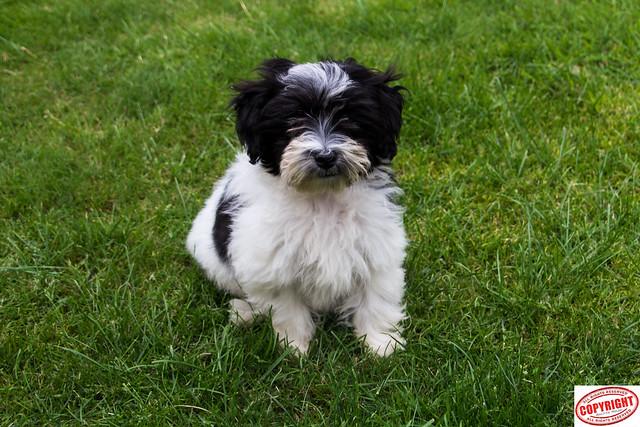 IMG_5601 Ella Maltipoo Puppy
