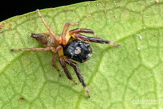Jumping spider (Pancorius sp.) - DSC_0203