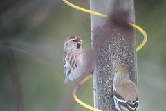 Common Redpoll, Armstrong Twp.,Indiana Co., PA