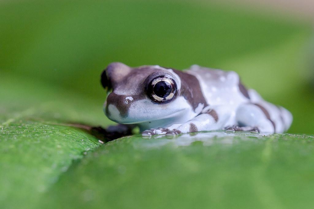 Amazon Milk Frog Reptiles Plus Flickr