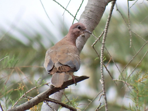 Spilopelia senegalensis Laughing Dove | by david cawthraw