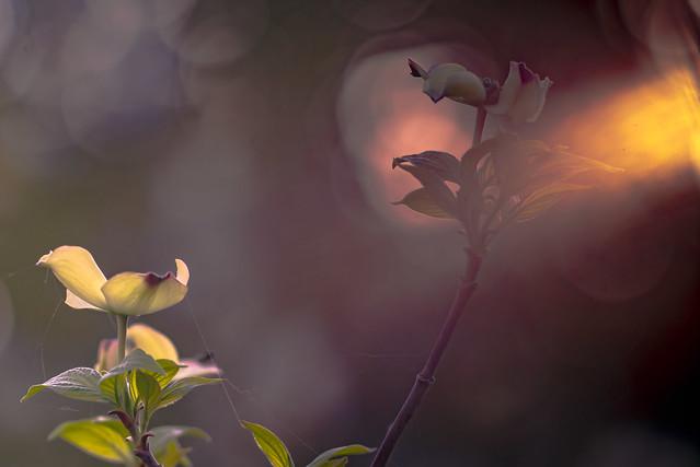 Morning Light on Cornus Cousa