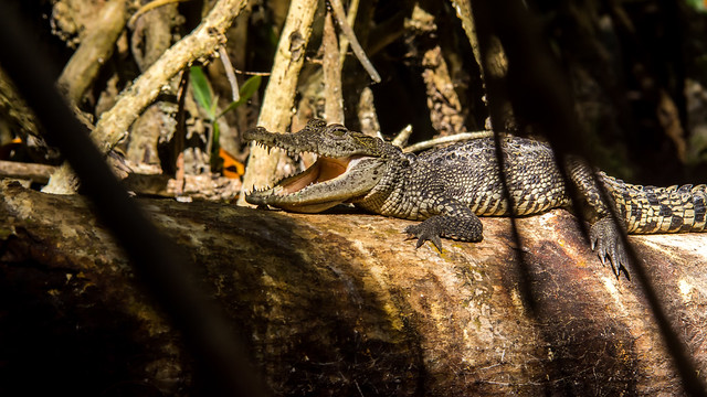 Petit crocodile dans la mangrove