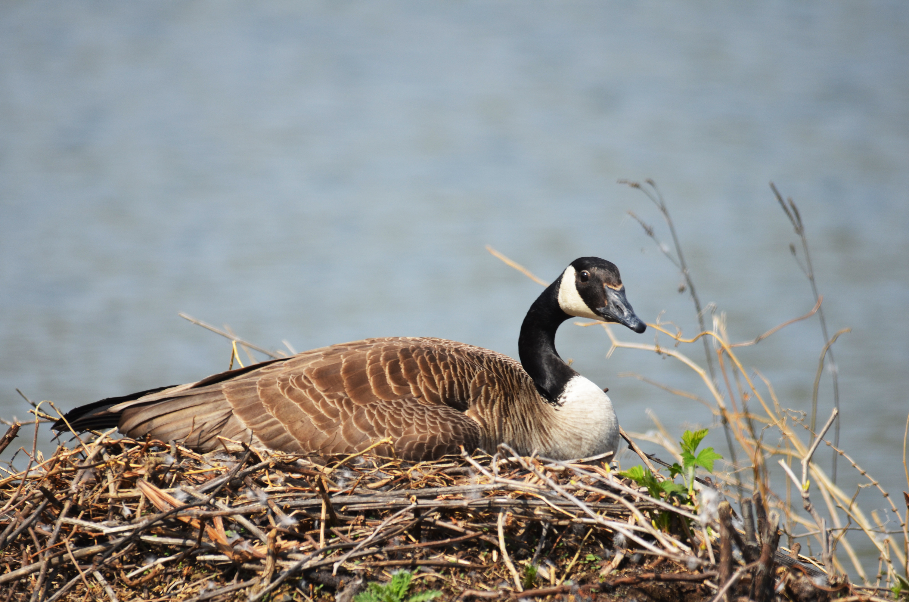 Canada goose on her nest
