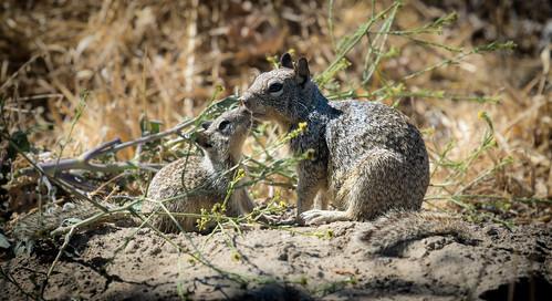 Parent & juvenile California Ground Squirrels (Otospermophilus beecheyi) | by Wade Tregaskis