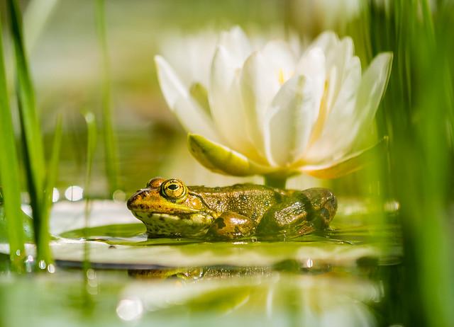 Froschkönig, Frog Prince