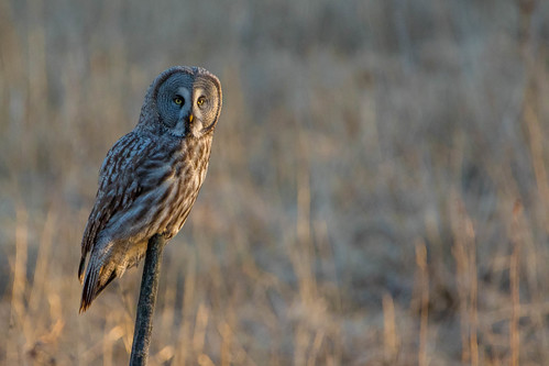 Great Grey Owl | by Donna Hampshire