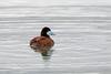 Ruddy Duck, San Joaquin Wildlife Sanctuary, Orange, California by Terathopius