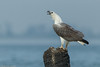 White-bellied Sea Eagle #161 by Ramakrishnan R - my experiments with light