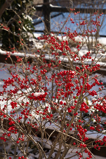 Winterberry   by CasualCapture