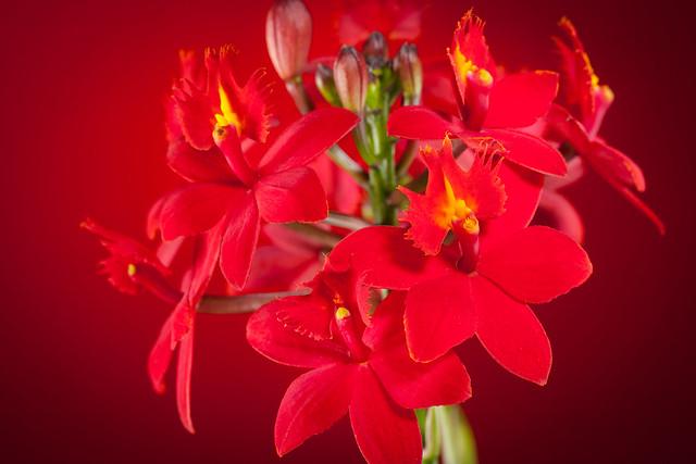 Epidendrum 2879