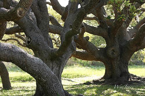 usa texas branches liveoak np bigtree climbingtrees liveoaks gooseislandstatepark wyojones gooseislandtree bishoptree