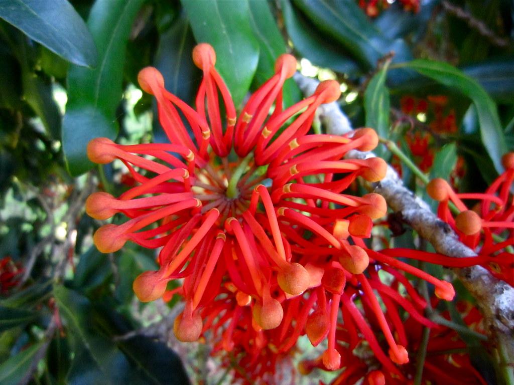 Stenocarpus sinuatus - Firewheel Tree | Wallamba River ...