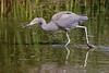Stalking Reddish Egret by brad.schram