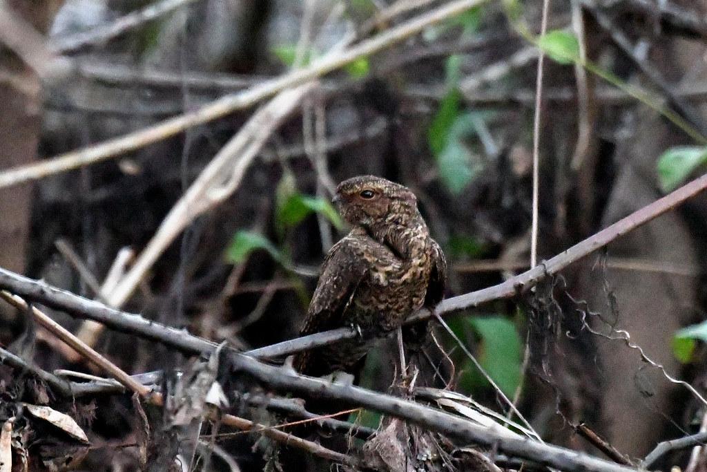 Band-tailed Nighthawk (Rio São Lourenço)