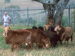 목, 09/29/2016 - 04:47 - Red Maasai breed