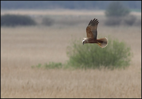 Marsh Harrier 17-04-07