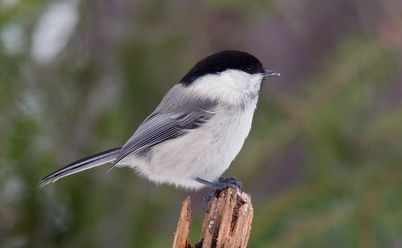 Willow Tit (boreal)