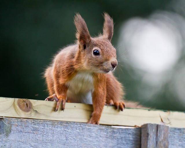 Red Squirrel Carpentry Tips #27. Always remove your paw before repairing the fence.
