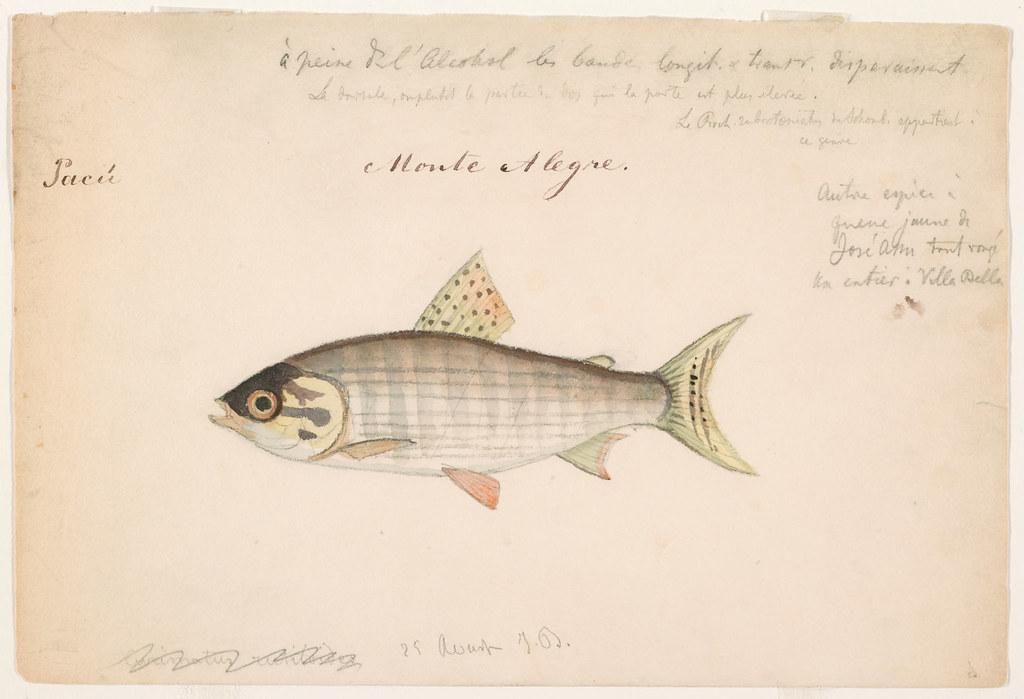 Prochilodus nigricans (Monte Alegre, Brazil, 25 August 1865)