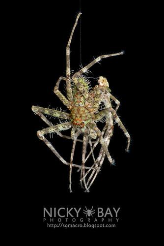 Lichen Huntsman Spider (Pandercetes sp.) - DSC_8202 | by nickybay