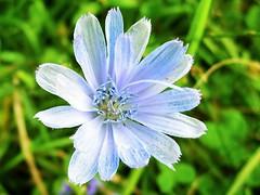Ծաղիկ