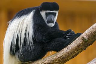 Long hair colobus | by Tambako the Jaguar