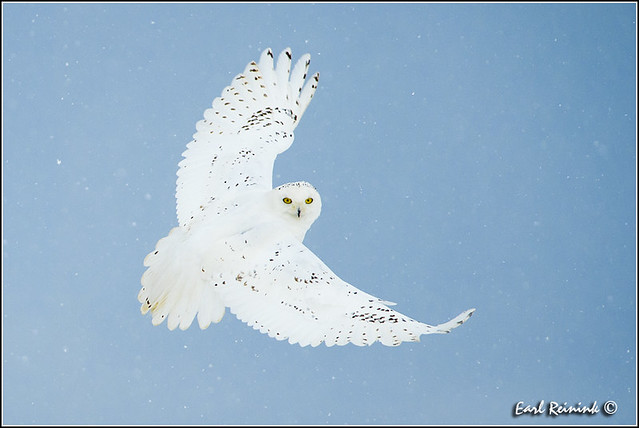 Owl in Snow storim (130124-0255)