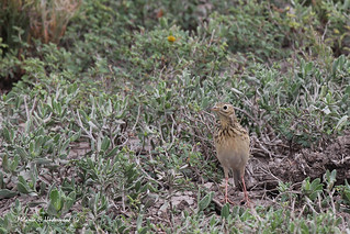 Sprague's Pipit | by WarblerLady