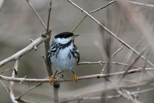 Blackpoll Warbler | by WarblerLady