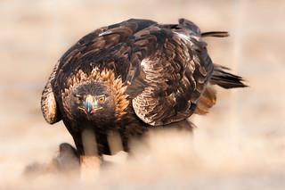 Yellowstone Golden Eagle