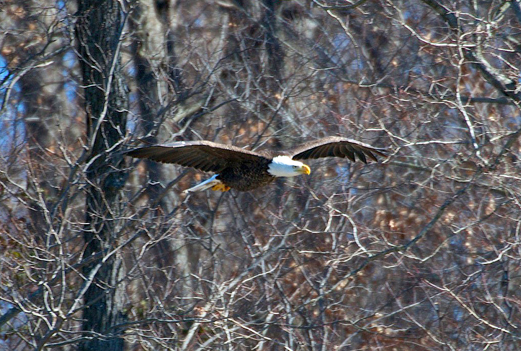 LBL Eagle Flying By Dick Lee | An eagle in flight is sighted