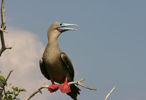 Red-footed booby (male) | by Charlesjsharp