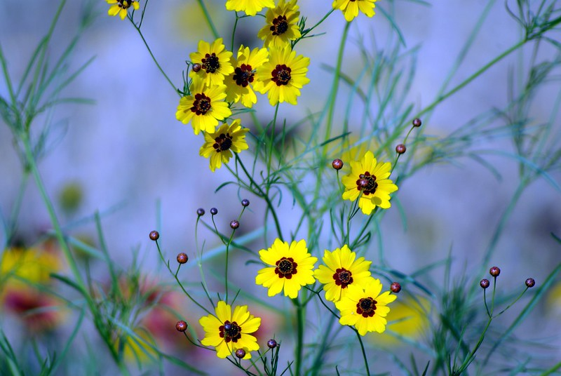 Coreopsis close-up