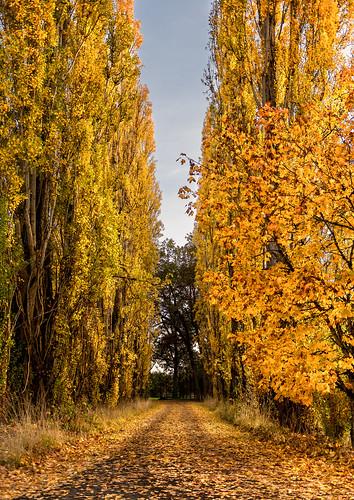autumn trees oregon golden nikon october path herbst foliage driveway 2012 d800 helvertia