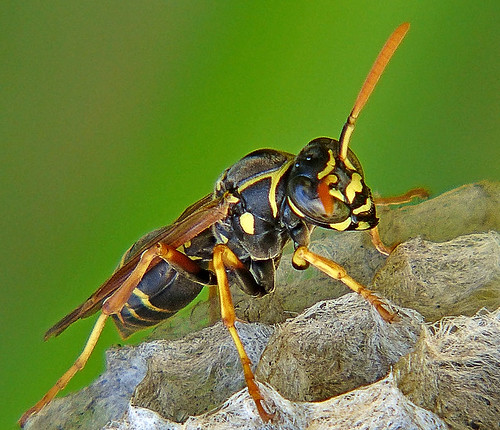 Paper Wasp | by kiwizone