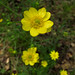 Flickr photo 'Ranunculus californicus' by: Josh*m.