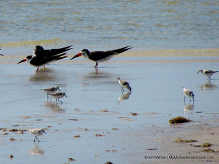 Three FUNky facts about the black skimmer | by Erin *~*~*