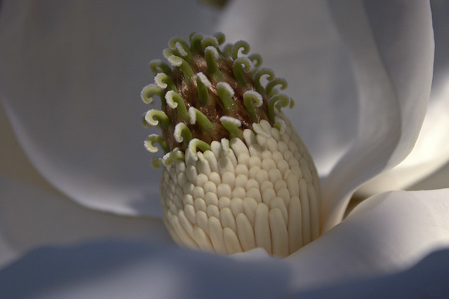 Georgia Magnolia