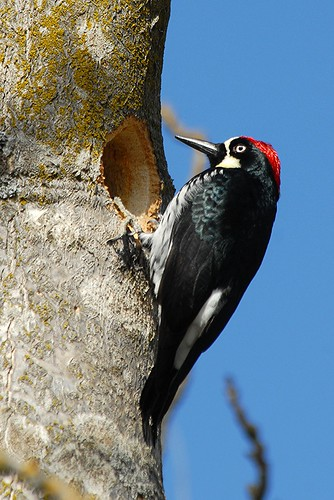 Acorn Woodpecker, working on a nesting hole | by birding4ever