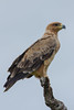 Wahlberg's Eagle ?? by Gerhard Theron