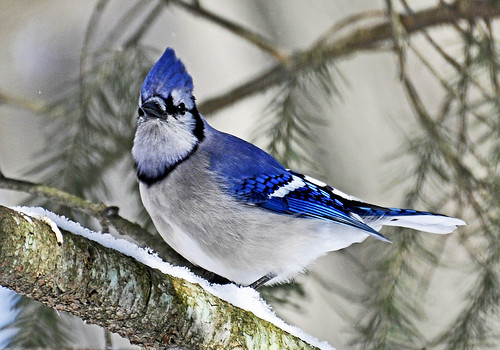 Blue Jay in Winter | by AcrylicArtist