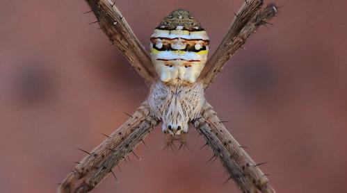 St Andrews cross spider-0049 | by rawshorty