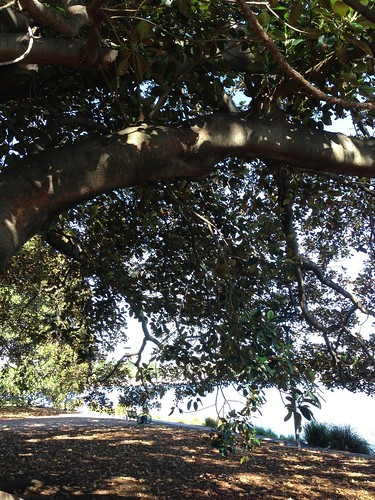 Masters - Moreton Bay Fig - 19 | by Feeling Fuzzy?