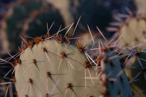 morning arizona cactus sun sunshine sunrise early sharp needles pricklypear campverde