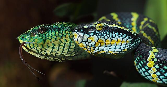 tropidolaemus subannulatus + tropidolaemus wagleri