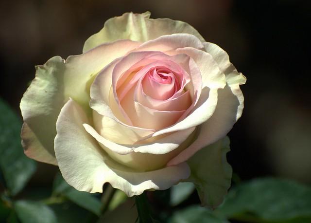 Moonstone Rose - D2X-11-12-12DSC_6273_7190
